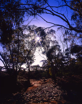 Thumbnail image ofThe sun getting low through the gum trees in the...