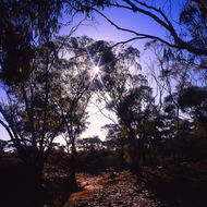 The sun getting low through the gum trees in the Australian goldfields.