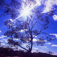 Sparse foliage but standing tall, a gum tree in the Australian goldfields.