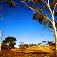 The cool light of the morning highlights gum trees in the Australian goldfields.
