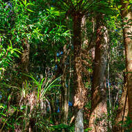 Fern growing under the canopy of the open rainforest.