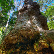 Old tree reaches up in the open rainforest.