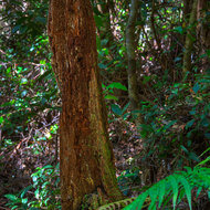 Remnant of a tree long fallen in the rainforest.