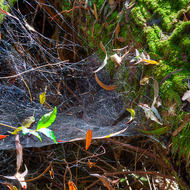 Spider web makes a nice bed in the rainforest.
