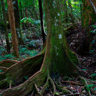Buttresses of a rainforest tree.