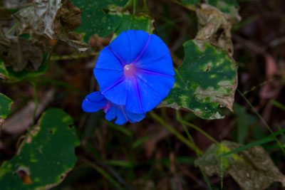 Thumbnail image ofFlower of the Morning Glory vine, ipomoea indica,...