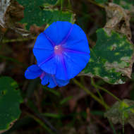 Flower of the Morning Glory vine, ipomoea indica, a weed species.