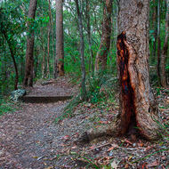 Forest walking track and a distressed trunk.