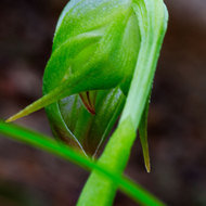 Trying to have a look inside the Nodding Greenhead orchid, pterostylis nutans.