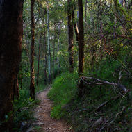 The morning sun side lights the forest trees along a walking track.