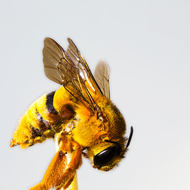 Highlighting the wings of a Teddy Bear bee, amegilla bombiformis.