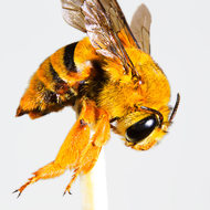 Look at those talons of a Teddy Bear bee, amegilla bombiformis.