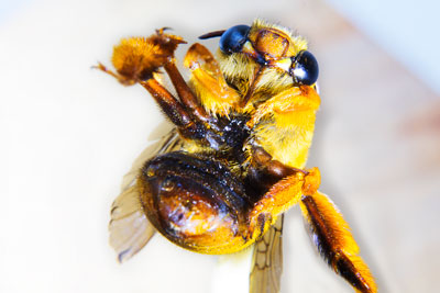 Thumbnail image of Underside and mouth of a Teddy Bear bee, amegilla...