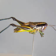 Grasshopper, side view.