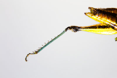 Thumbnail image of Barbed leg of a grasshopper.