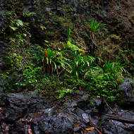 Constantly wet, rainforest vegetation under a small waterfall.