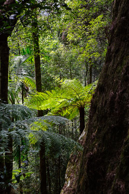 Thumbnail image ofLooking across over the rainforest floor from...
