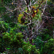 Looking down into the canyon at a fern high in a tree coming up from the rainforest floor.