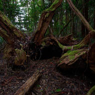 Fallen giant in the rainforest.