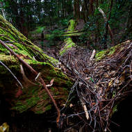 A fern growing amid fallen trees in the rainforest.