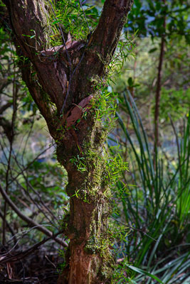Thumbnail image ofA small tree hosts smaller plants in the rainforest.
