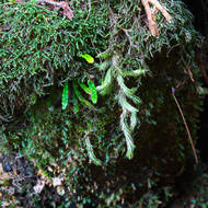 The rainforest in the canyon hosts mosses and ferns.
