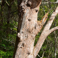 Knobby old tree, termite infested.