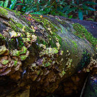 Fallen rainforest tree hosts fungus and moss.