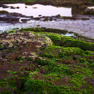 Fluorescent green seaweed on tidal rocks.