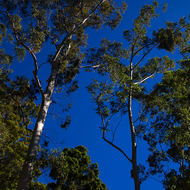 Tall gum trees reaching for the sun.