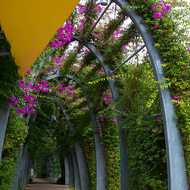 Bougainvillea walk.