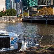 Seagull on the north bank of the Yarra River.