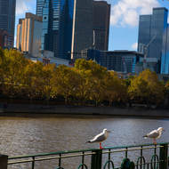 Seagulls lined up along the railing at Southbank on the Yarra River.