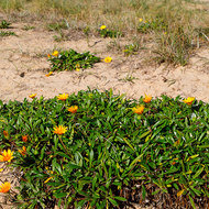 Flowers and grasses growing on Balnarring beach.