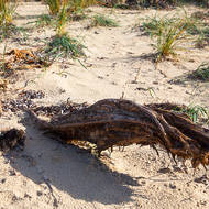Remant of a ti-tree lies buried in the sand.