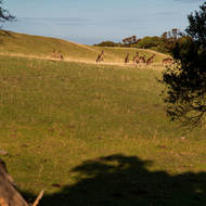 Mob of kangaroos grazing in the afternoon sun adjacent the Cape Schanck Lighthouse reserve.