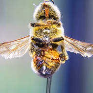 Macro view of a specimen honey bee from the underside.