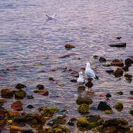 Seagulls at dawn in the tidal shallows.