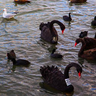 Black swans P61 and P83 on the lake.