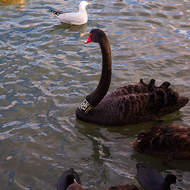 Black swans P83 on the lake.