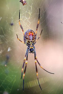 Thumbnail image ofGiant Golden Orb spider, female, nephila pilipes,...
