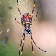Giant Golden Orb spider, female, nephila pilipes, underside.