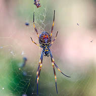 Giant Golden Orb spider, female, nephila pilipes, underside, with supper neatly wrapped.