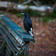 Pied currawong.