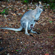 Mother wallaby with baby joey in pouch.