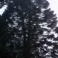 Bunya pine tree in the morning mist.
