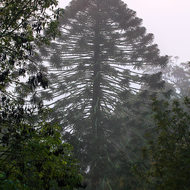 Bunya pine tree in the winter morning mist.