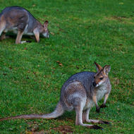 Custodial staff: wallabies keep the grass short mist.