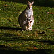Wallaby mom and joey.