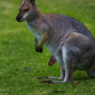 Wallaby mom and young joey.